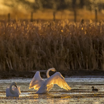 A good binocular will help you see the beautiful feathered details of this backlit swan.