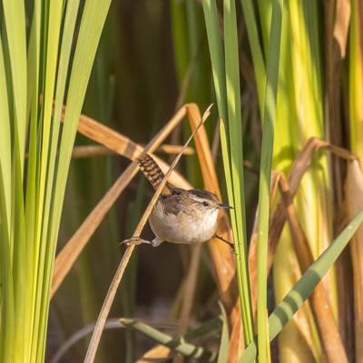 One of the rewards of birdwatching is a marsh wren.