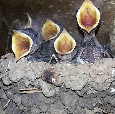 Swallows set up housekeeping while the cookshack was under construction