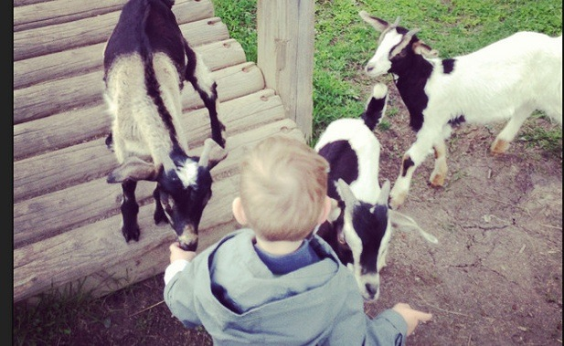 Jessica Duckworth's little boy petting 2 goats at the Black Spruce Farm in Prince George.