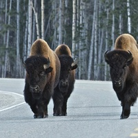 Bison roam the streets at Liard Hot Springs.