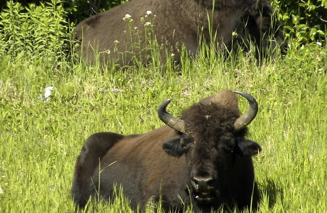 A buffalo laying peacefully in some green grass.