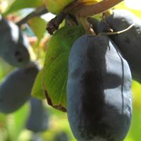 Haskap or Honeyberries...the new super fruit, grown at Moon Druid.