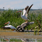 Pelicans from Dried Meat Lake near Camrose.