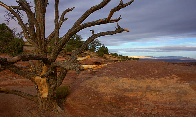 Trees in the desert in Canyon de Chelly