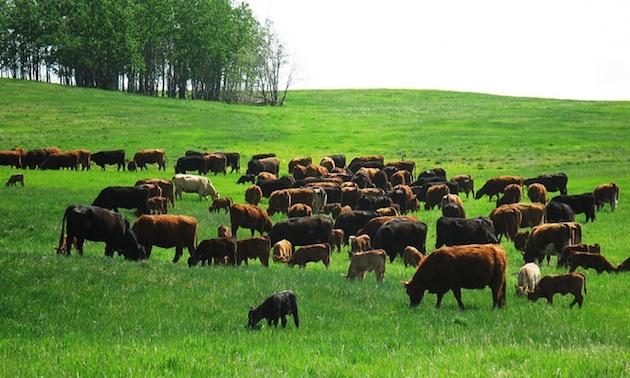 Nimitz cattle grazing on tender green grass.