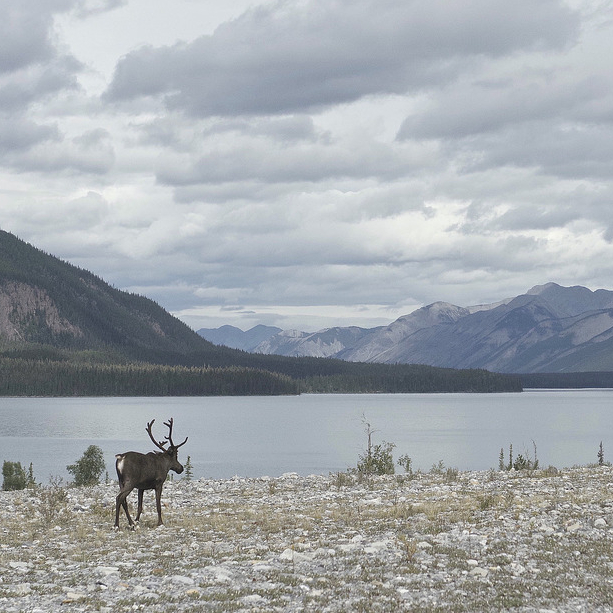 A caribou standing beside a lake with snowy mountains all around.