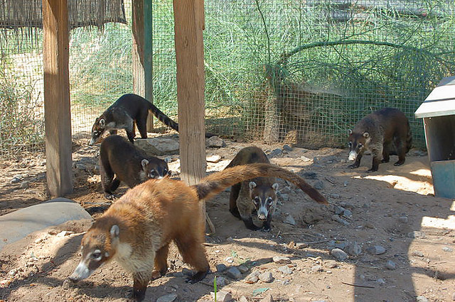 The coatimundis are very active and love to have fun.