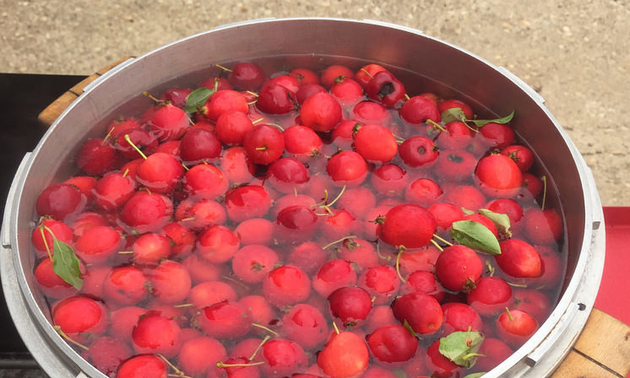 Crab Apples Washed and Ready to Cook