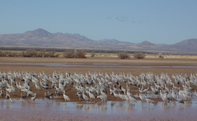 1000's of sandhill cranes at the Whitewater Draw Wildlife Area.