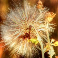 A dandelion that has gone to seed.