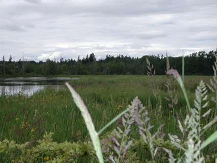A marshy lake with surrounded by long grass and bushes.
