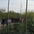 desert botanical gardens in Phoenix Arizona