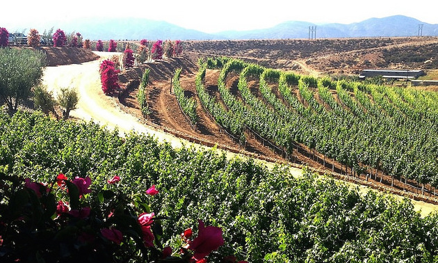 Rolling hills with rows and rows of grapevines of Valle de Guadalupe