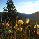 mountains, sunset, tree, dandelions