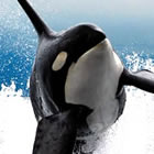 Orca in the water