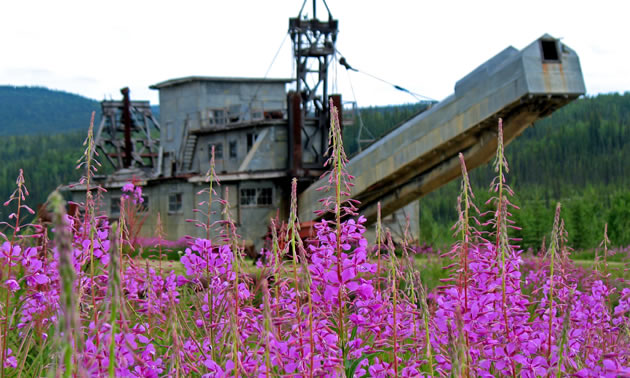Purple flowers in front of an old gold mine dredge.