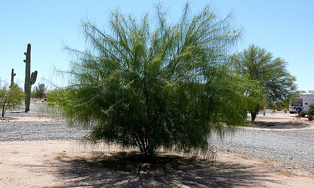 Palo verde tree in an RV park, Florence Arizona