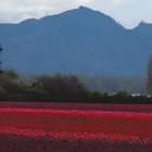 tulips in Skagit Valley
