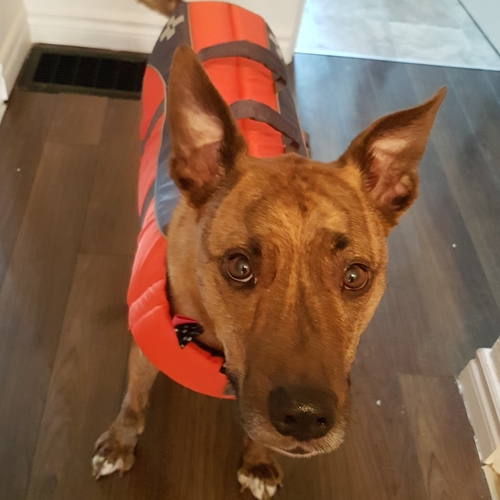 dog wearing a life jacket