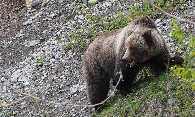 This beautiful grizzly bear was photographed at the side of the road near Radium Hot Springs.