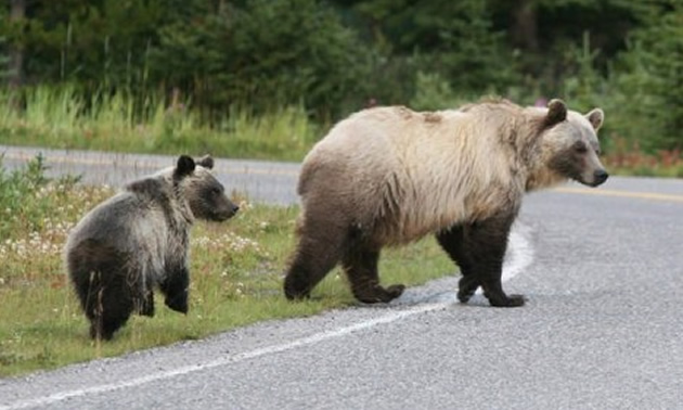 Picture of grizzly bear and cub crossing a road.