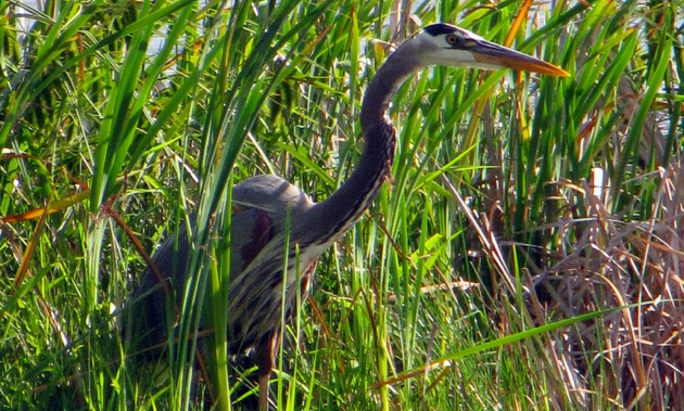 One of the Great Blue Herons that reside at the Creston Valley Wildlife Management Area.