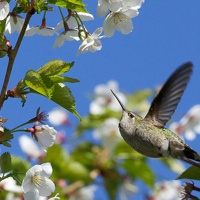 A hummingbird hovering around a cherry blossom.