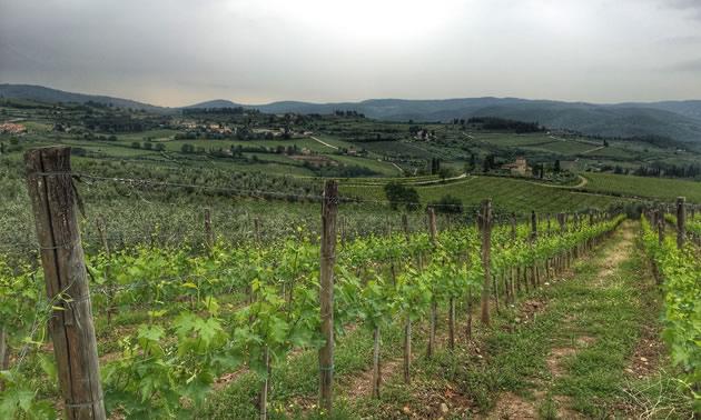 Tuscan Chianti Vines, Panzano, Italy