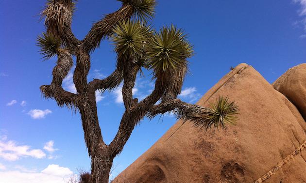 Joshua tree, red rock