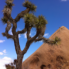 Joshua tree, red rock