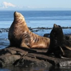 Steller Sea Lions hang out on the rocks