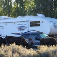 3 bull moose grazing in front of John and Anne Godsman's 5th wheel.