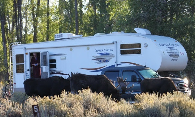 3 moose grazing in front of John and Anne Godsman's 5th-wheel.