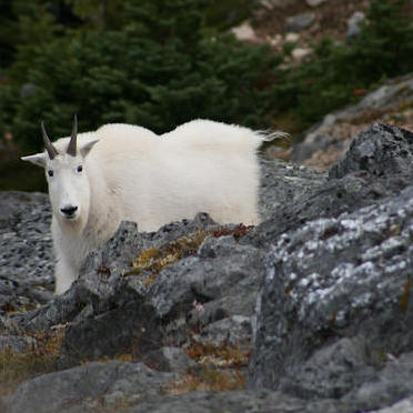 A white mountain goat standing on a rocky craig.