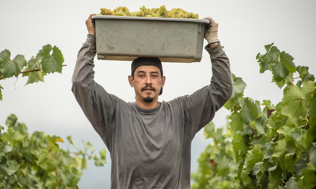 A worker is carrying a tub of white grapes on his head.