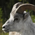 Close-up of a Stone Sheep on a mountainside clearing.