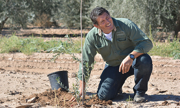 A man is planting a small olive tree at the Queen Creek Olive Mill.
