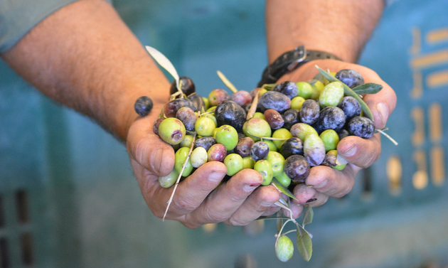A man holds a handful of fresh olives at the Queen Creek Olive Mill.