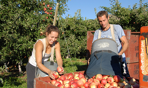 man and a woman going through a crate of apples in Oliver, BC