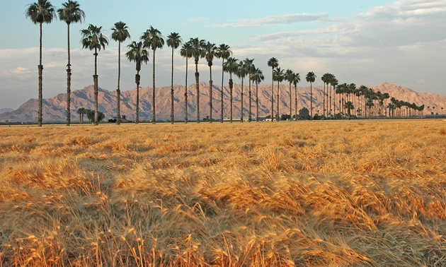 Wheat fields just north of Yuma.