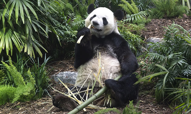 One of the newly arrived giant pandas enjoys a snack during the grand opening of Panda Passage.