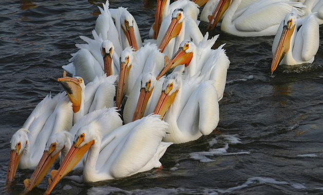 White pelicans near the main dam in the Last Mountain Lake National Wildlife Area and Migratory Bird Sanctuary