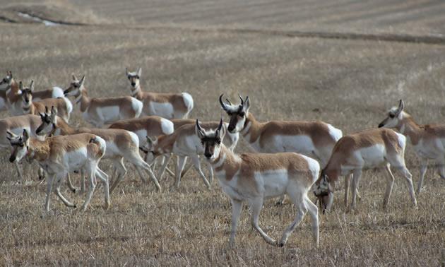Herd of Pronghorn antelope.