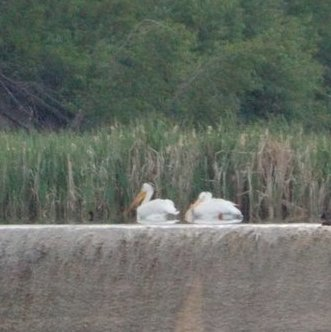 Pelicans on Coal Lake made for a stunning scene.