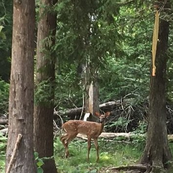 Deer walked through the campsite and stopped to say hello.