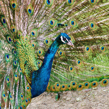 The Saskatoon Forestry Farm Park and Zoo has some amazing animals, such as this  beautiful blue and green peacock.