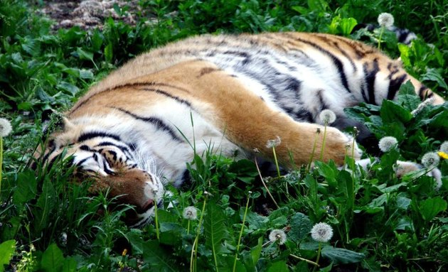 An Amur tiger takes a nap among the dandelions at the Edmonton Valley Zoo.