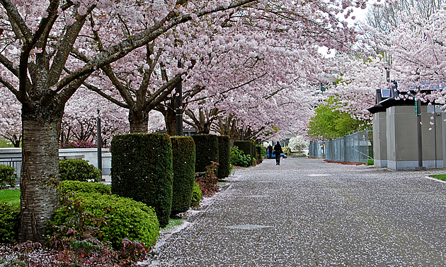 people walking beside cherry trees in bloom, in Salem Oregon