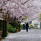 people walking beside cherry trees in bloom, in Salem Oregon